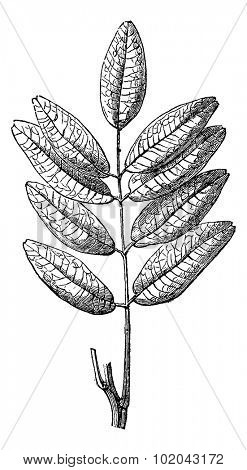 Jaborandi or Pilocarpus sp., showing leaves, vintage engraved illustration. Usual Medicine Dictionary by Dr Labarthe - 1885