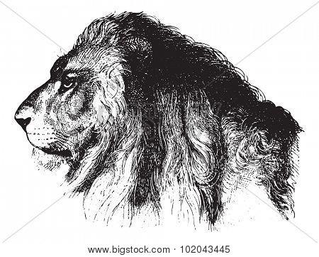 Lion's face, vintage engraved illustration. Animaux Sauvages et Domestiques - For kids - 1892.