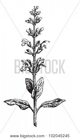 Sage or Salvia, vintage engraved illustration. Usual Medicine Dictionary by Dr Labarthe - 1885.