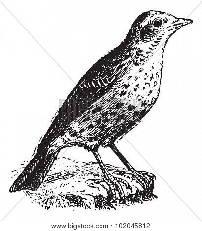 Pipit, vintage engraved illustration. Dictionary of words and things - Larive and Fleury - 1895.