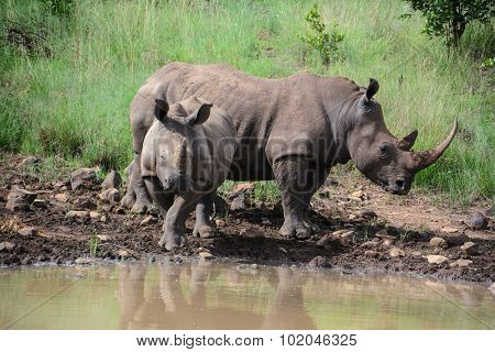 Adult and juvenile rhinoceros