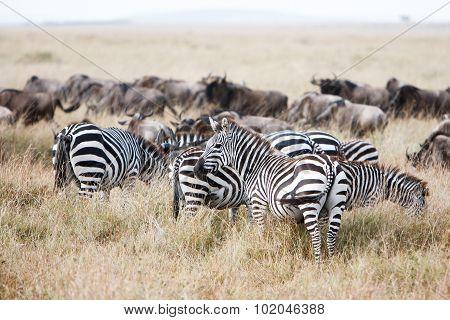 Herd Of Wildebeest And Zebra Grazing On Grasslands Of African Savanna
