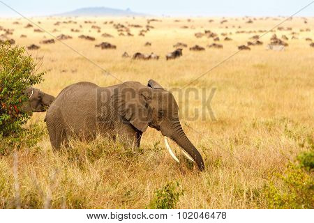 Adult African Bush Elephants Grazing In African Savanna