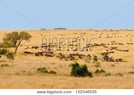 African Grassland With Wildebeest And Zebra Grazing