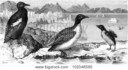 Guillemot mirror and white penguin macroptera, vintage engraved illustration. Le Tour du Monde, Travel Journal, (1865).