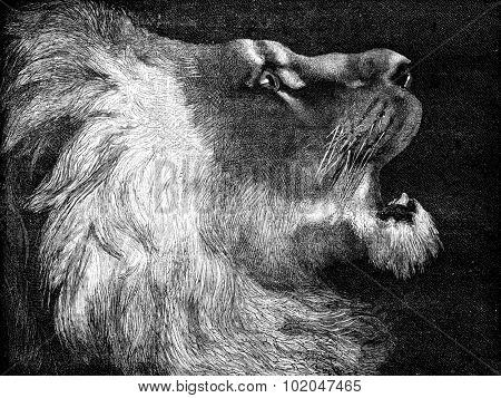 The lion hunter. A lion of the Atlas, vintage engraved illustration. Journal des Voyages, Travel Journal, (1879-80).