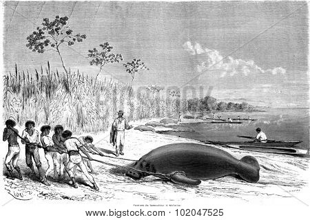 Capture of manatees in Malbuisson, vintage engraved illustration. Le Tour du Monde, Travel Journal, (1865).