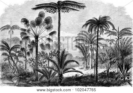 Palm of the Ucayali Amazon, vintage engraved illustration. Le Tour du Monde, Travel Journal, (1865).
