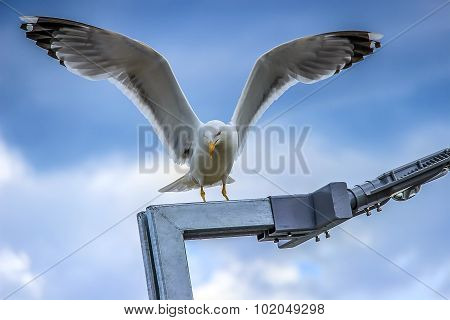 seagull with spread wings