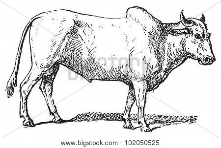 Zebu or Humped cattle or Brahman cattle, vintage engraved illustration. Dictionary of words and things - Larive and Fleury - 1895.