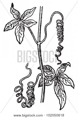 Tendrils, a Passionflower or Passiflora or Passion Vines, vintage engraved illustration. Dictionary of words and things - Larive and Fleury - 1895.