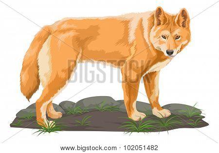 Vector illustration of wolf.