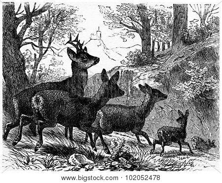 Deer, vintage engraved illustration. La Vie dans la nature, 1890.