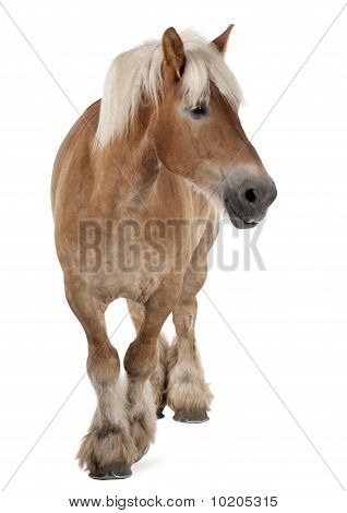 Belgian Horse, Belgian Heavy Horse, Brabancon, A Draft Horse Breed, 10 Years Old, Standing In Front