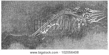 Small ichthyosaur fossil preserved in the womb of his mother, vintage engraved illustration. Earth before man  1886.