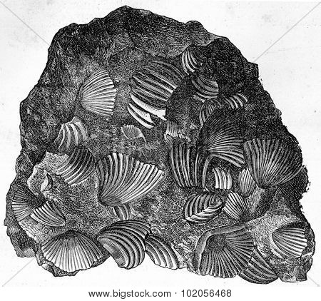 Frame fragment consisting only of rhynchonelle agglomerated, vintage engraved illustration. Earth before man  1886.