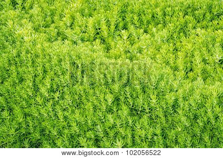 bright green stonecrop foliage background - lemon coral sedum plant with water-storing leaves