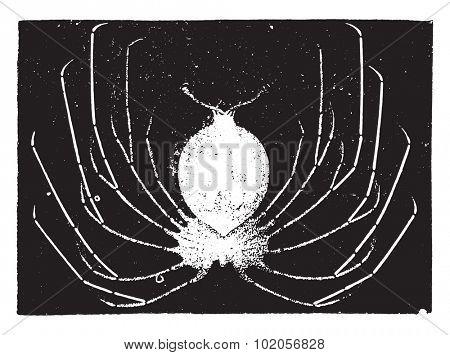 Lobster larvae, vintage engraved illustration. Natural History of Animals, 1880.