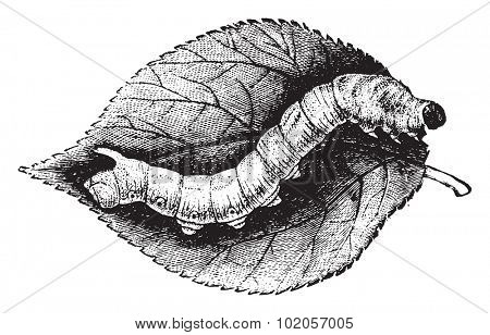 Caterpillar Bombyx mulberry, vintage engraved illustration. Natural History of Animals, 1880.