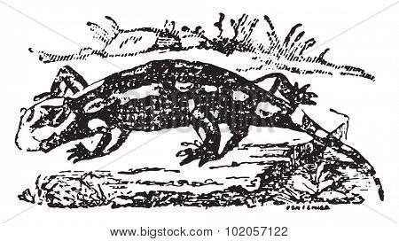 Terrestrial salamander, vintage engraved illustration. Natural History of Animals, 1880.