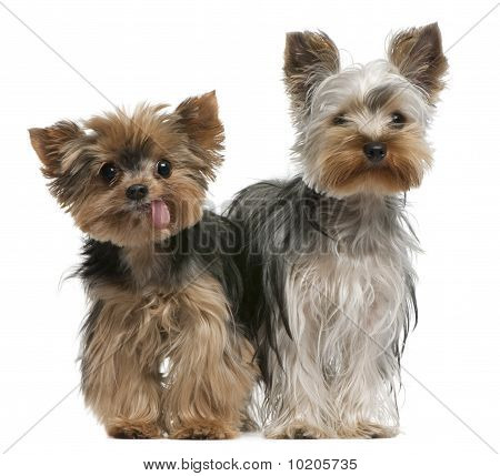 Young And Old Yorkshire Terriers, 6 Months And 12 Years Old, Sitting In Front Of White Background