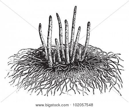 Young asparagus, vintage engraved illustration. La Vie dans la nature, 1890.