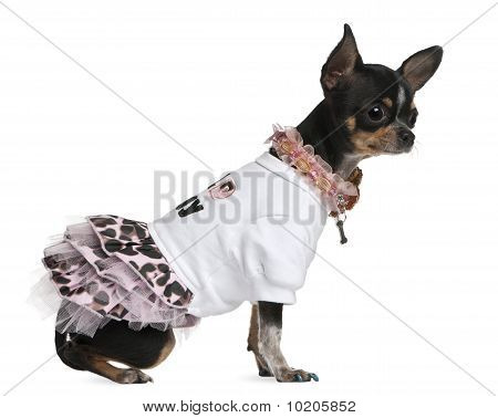 Chihuahua Dressed Up, 1 Year Old, Dressed Up And Sitting In Front Of White Background