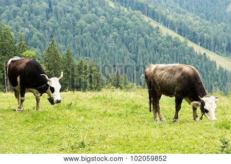 Two cows in the mountains