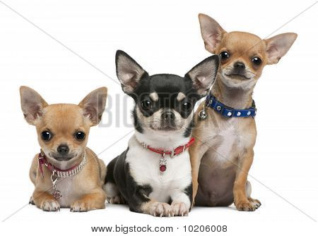 Chihuahuas, 3 Years Old, 2 Years Old, 3 Months Old, Sitting In Front Of White Background