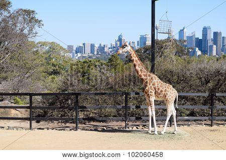 SYDNEY, AUSTRALIA - AUGUST 2015: Giraffe at Taronga with a view of Sydney CBD skyline in the backgro