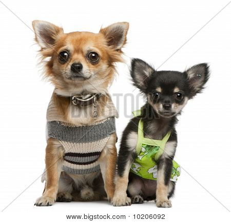 Chihuahua Puppy, 2 Months Old And 1 Year Old, Dressed Up And Sitting In Front Of White Background