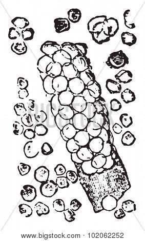 Blood cell and blood cast, vintage engraved illustration.