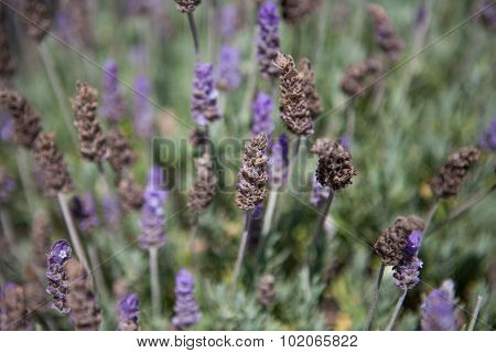 Close up of natural lavender field in the summer
