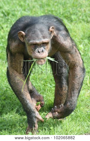 Chimpanzee on the charge