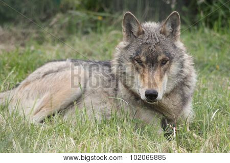North western wolf lying down in the grass always ever watchful