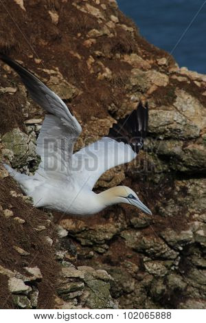 Gannet taking to flight from the cliff edge