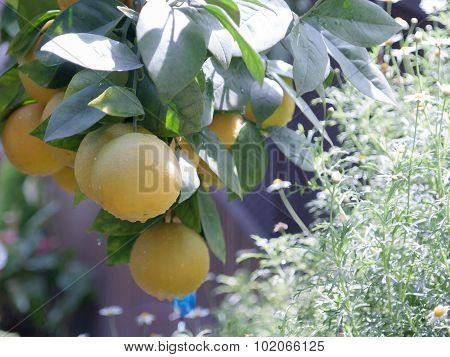 Tree   Orange