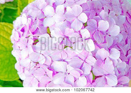 fresh blossom hydrangea flowers close up