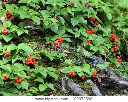 Bunchberries - Cornus canadensis