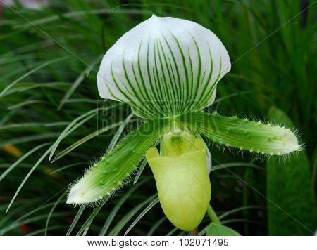 Green White Paphiopedilum Callosum Maudiae Orchid Flower