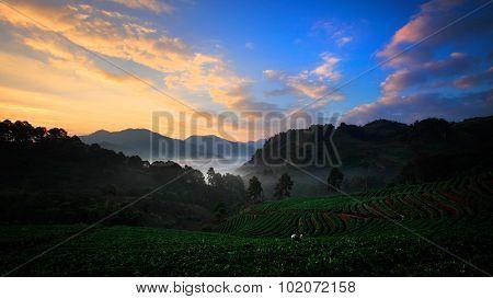 Organic Strawberry Field On Terrace, Doi Ang Khang, Chiang Mai, Thailand