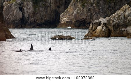 Pod Orca Whales North Pacific Ocean Sea Life Marine Mammal