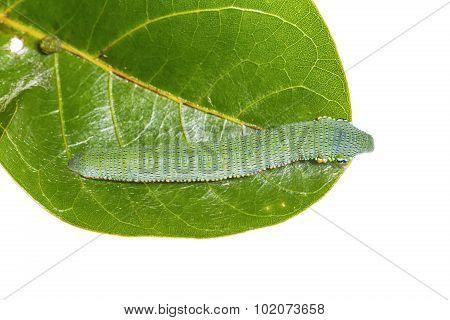 Mature Great Orange Tip Caterpillar
