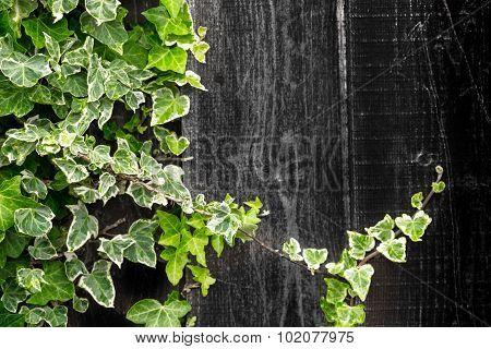 Geen Ivy Climbing A Timber Wood Fence