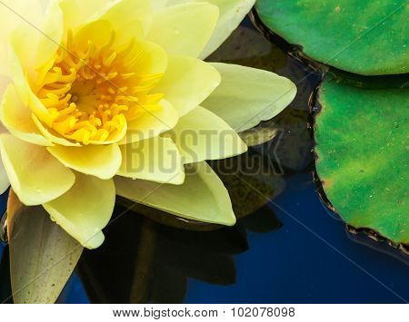 Macro Image Of Yellow Water Lilly