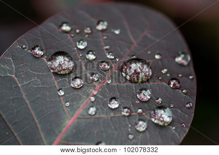 Macro Water Drops On A Dark Red Leaf