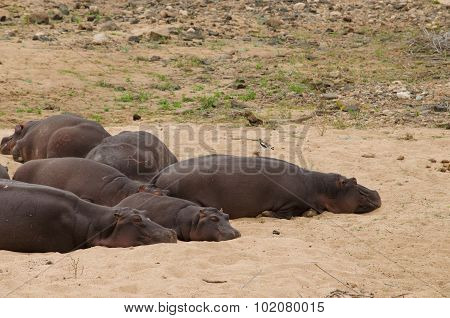 hippos sleeping on the beach
