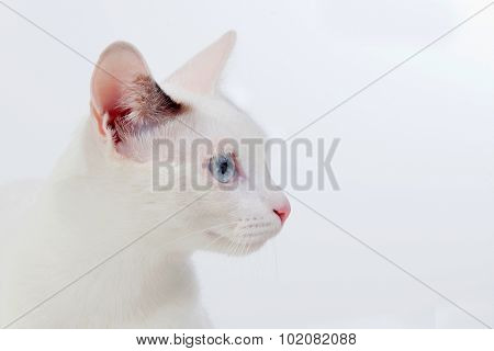 Beautiful white cat with blue eyes and pink nose