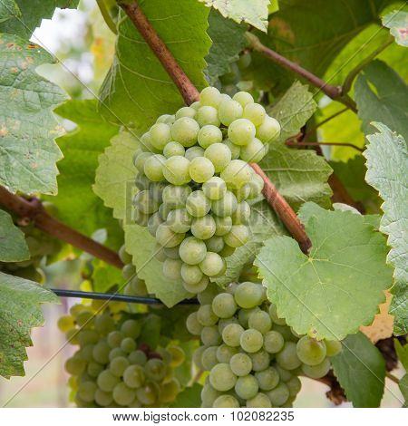 Closeup To White Wine Grapes At A Vineyard