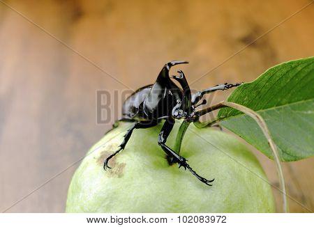 Fighting beetle (rhinoceros beetle) on guava fruit